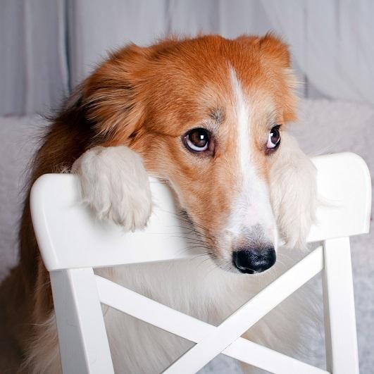 Zapalenie gruczołów okołoodbytowych u psów