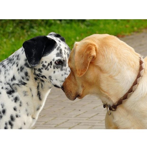 Układ rozrodczy psów