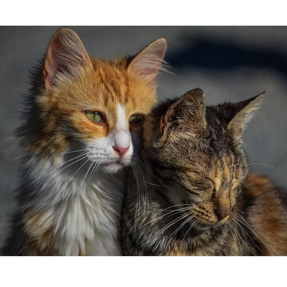 Cukrzyca u kotów: Specjalna karma!