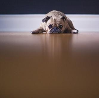Przewlekłe rozwolnienie u psów
