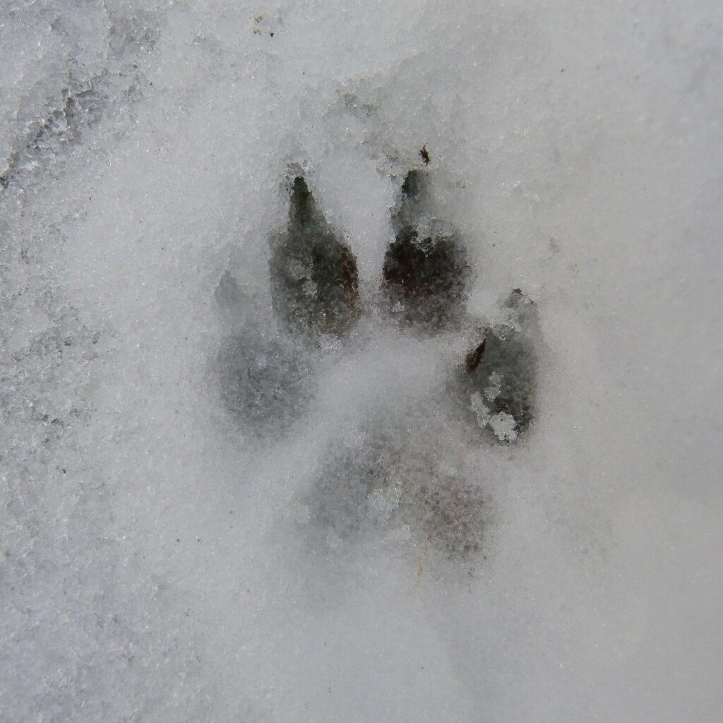Pies i wilk - różne bliźniaki