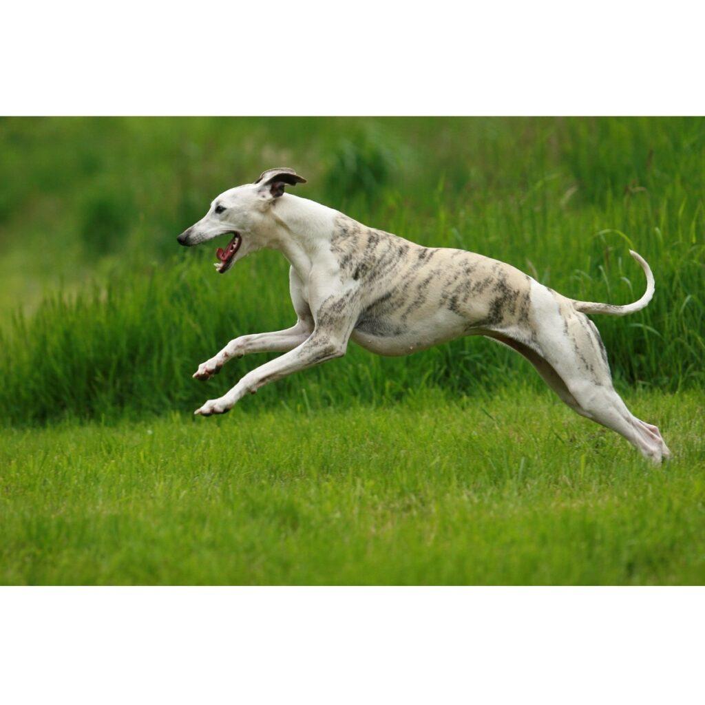 Ochrona stawów szczeniąt i dorosłych psów