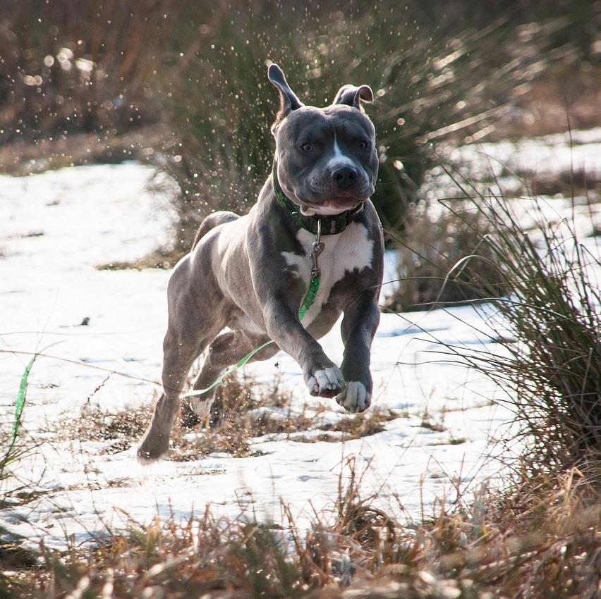 Żywienie psa rasy Amstaff